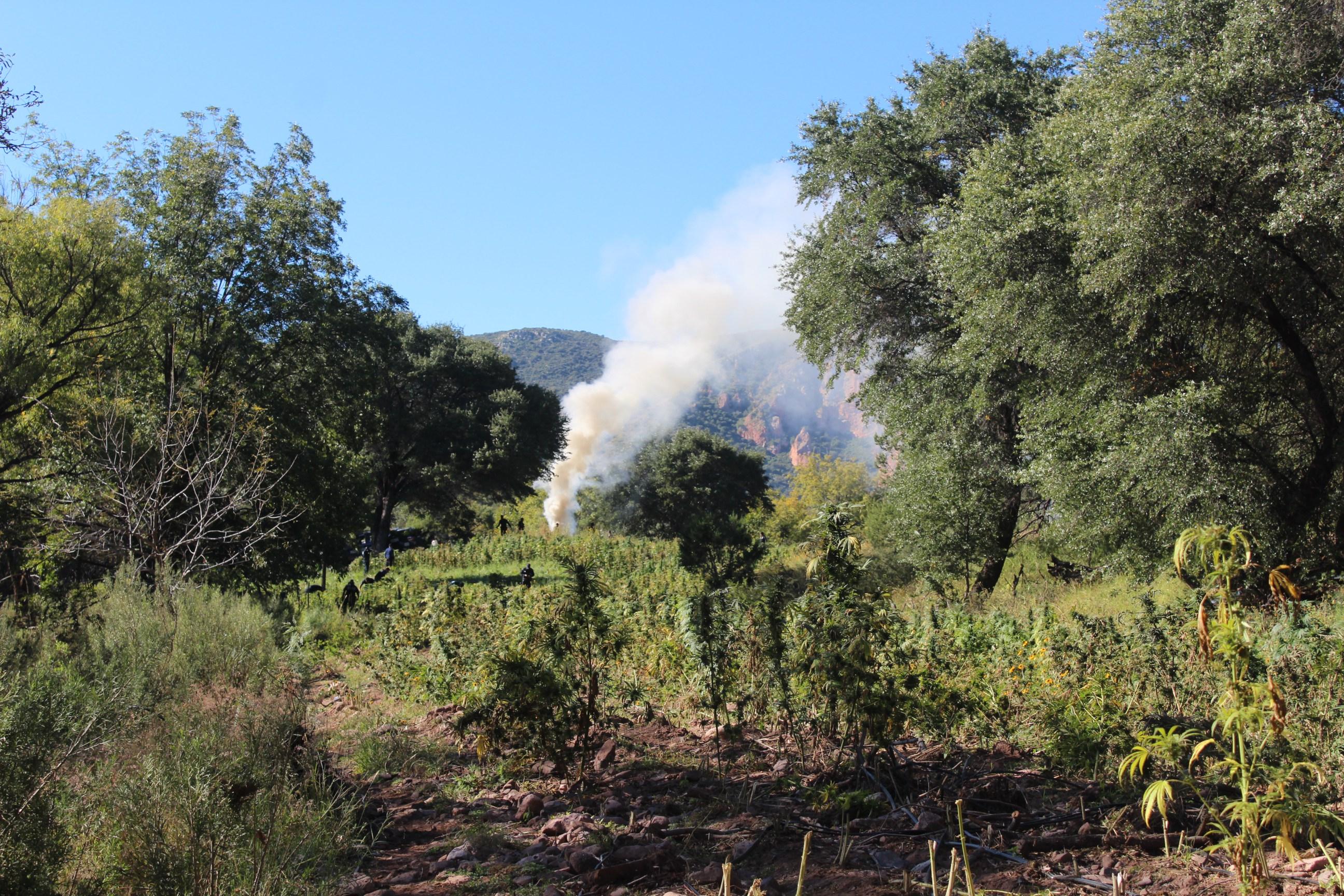 Resultado de imagen para Destruyen 8 hectáreas de marihuana