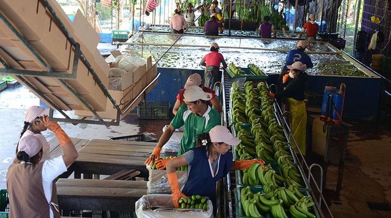 Cae a la mitad el precio de exportación del banano boliviano – eju.tv