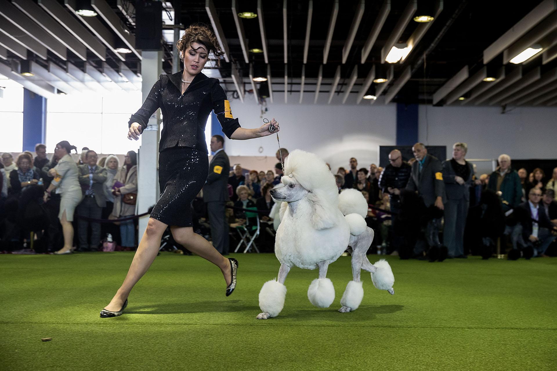 Un Standard Poodle en competencia