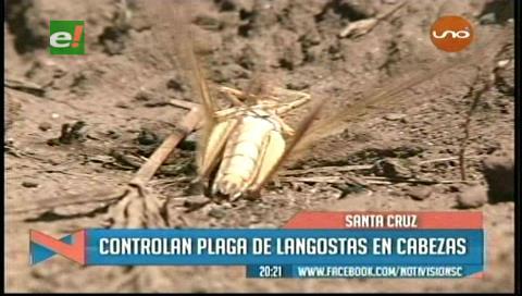 Senasag controla presencia de la plaga de langostas en el municipio de Cabezas