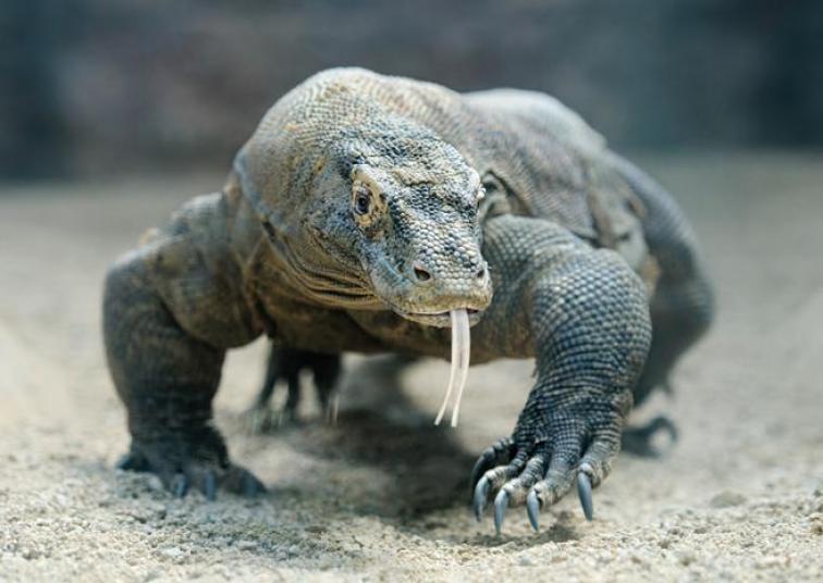 Dragón de Komodo (