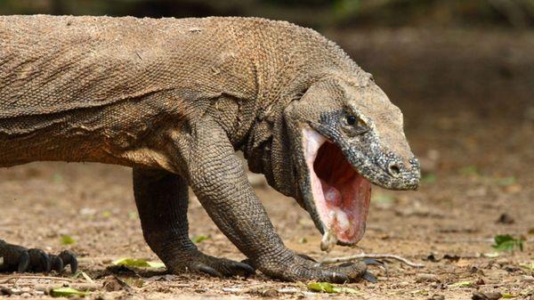 En la sangre del dragón de Komodo puede estar el secreto para combatir las superbacterias, que cada año matan a 700.000 personas en el mundo