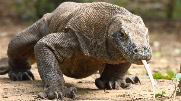 El lagarto más grande que habita el planetacaza con ayuda del veneno y las bacterias con que intoxica mortalmente a sus presas. Allí yace el secreto de su potencial antimicrobiano