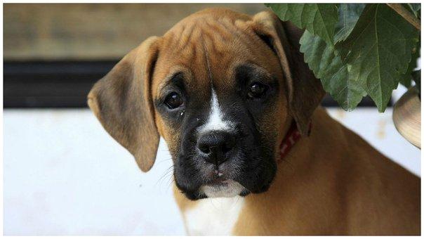Aprueban ley que prohíbe cortar orejas y cola a perros en España