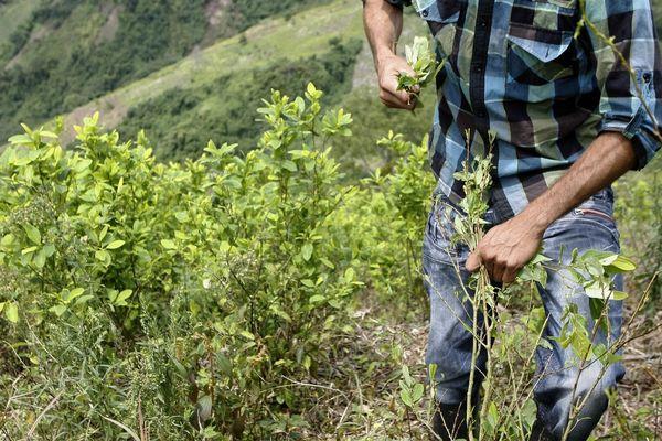 Un campesino recoge hojas de coca en un cultivo en Colombia (EFE)
