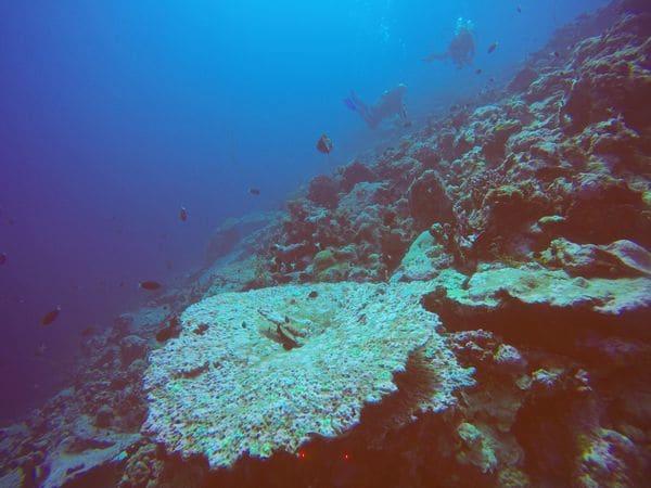Corales muertos en el área del Archipiélago de Chagos, en el Océano Índico. Foto por: John Turner, Bangor University.