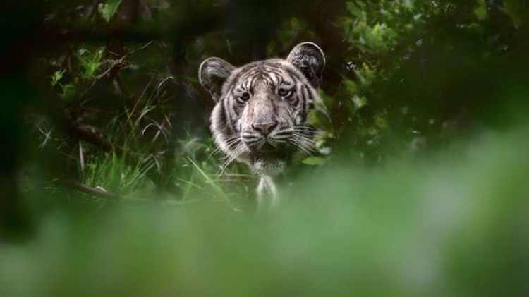El tigre pálido nunca había sido fotografiado (Nilanjan Ray)