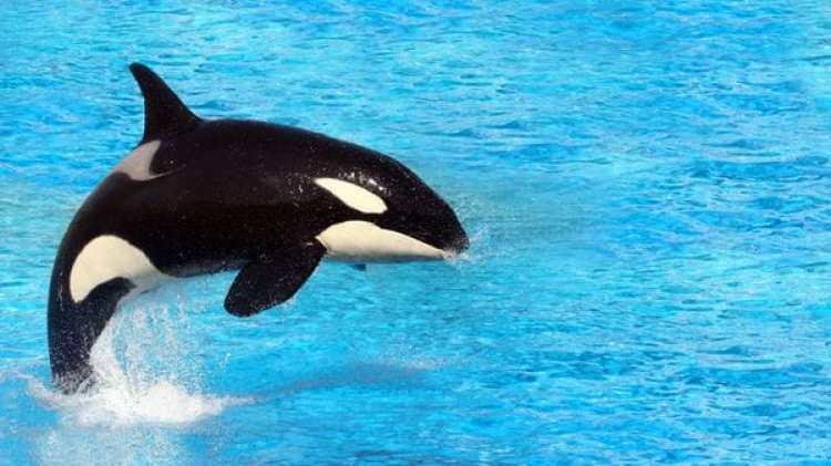 """SeaWorld anunció con anterioridad que no liberará a los cetáceos, porque ya no pueden adaptarse a la vida salvaje, por lo que crearán experiencias más """"naturales"""" con estos animales (istock)"""