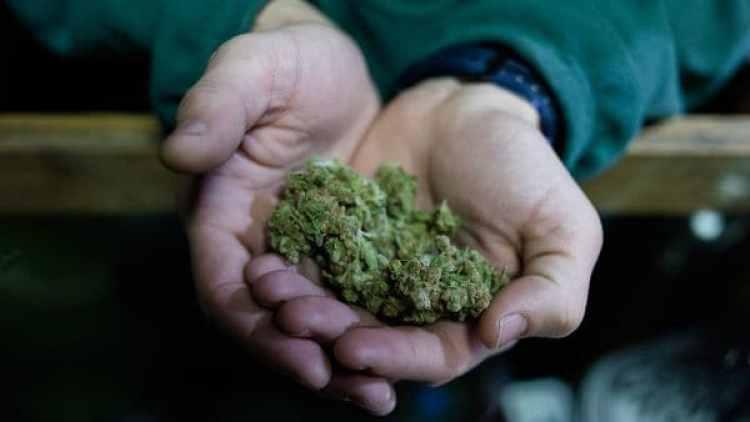Cogollos de marihuana (Adrián Escandar)