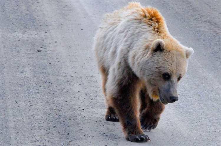 La exclusión de la población de Yellowstone se produce un año después de que el gobierno de Obama lo propusiera por primera vez (Pixabay)