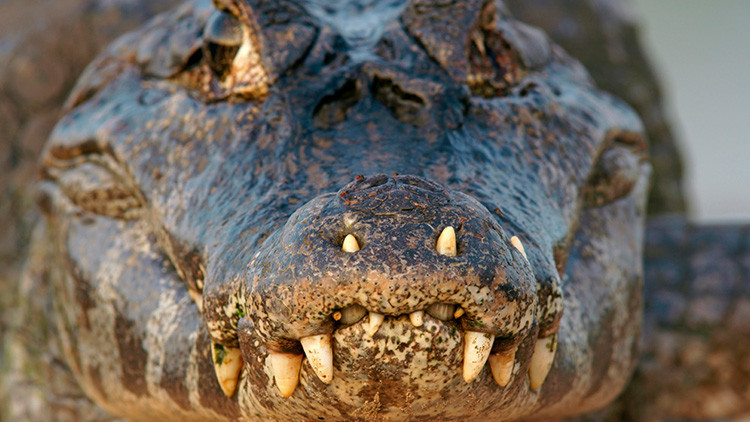 Aldeanos brasileños realizan espeluznante descubrimiento en el interior de un caimán (FUERTE FOTO)