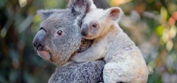 """No se trata de un animal albino sino de una hembra con el """"gen plateado"""", probablemente heredado de su madre (Foto: EFE)"""