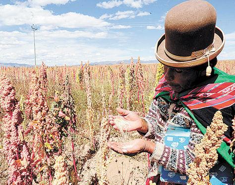 Producción. Uno de los campos de cultivo de quinua en Oruro. Archivo Richard Ilimuri.