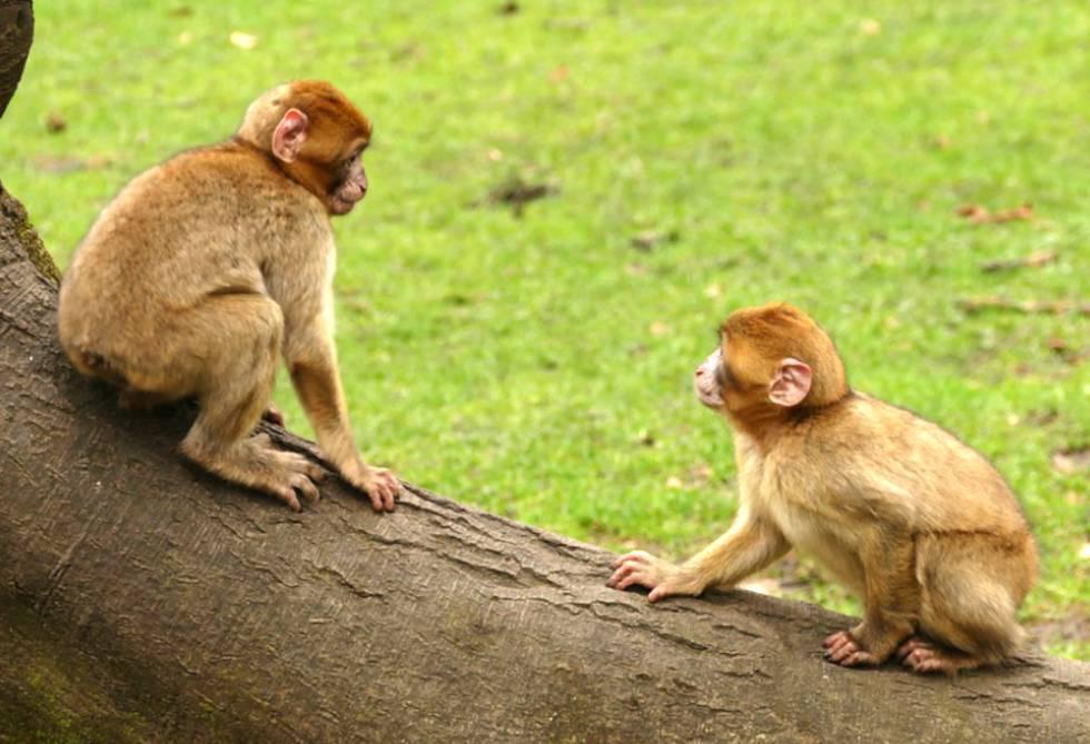 Durante un año se privó a tres macacos de la visión de caras humanas o de congéneres.