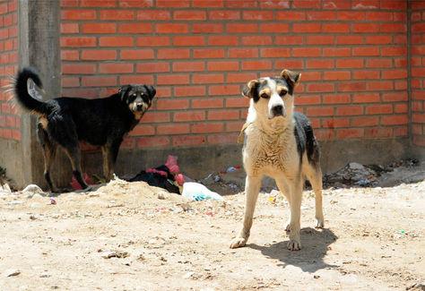 Perros callejeros en las calles de La Paz. Foto: La Razón