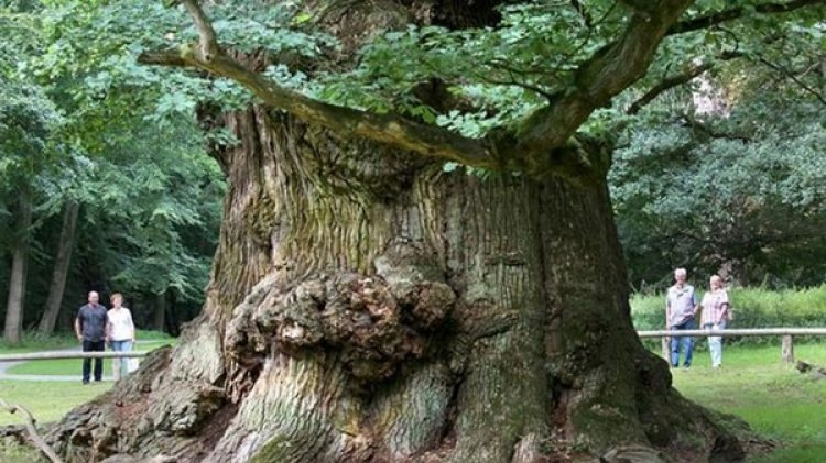 Las distintas interconexiones entre los xilemas tenían la capacidad de reubicarse con el fin de adaptarse al crecimiento del árbol