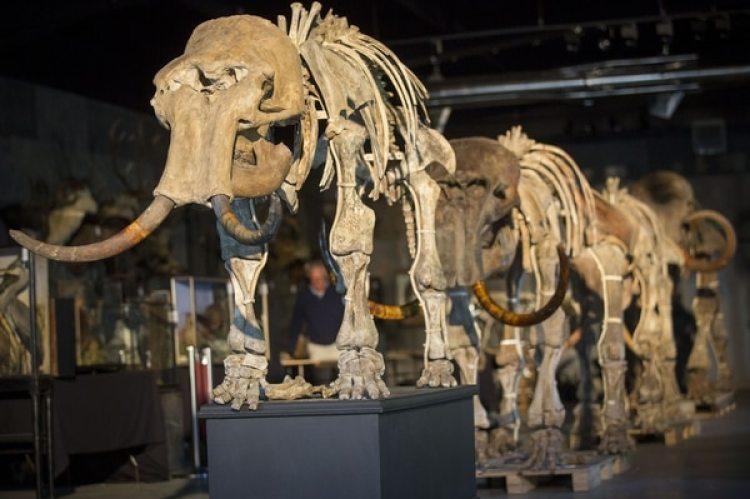 Fósiles de una familia de mamuts en un museo(Rob Stothard/Getty Images)