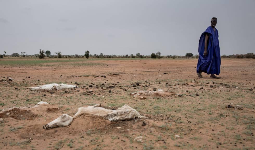Animales muertos a causa de la sequía en Senegal. rn rn