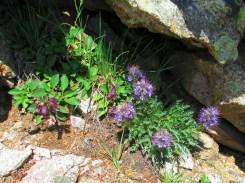 Purple Fringe and Penstemons