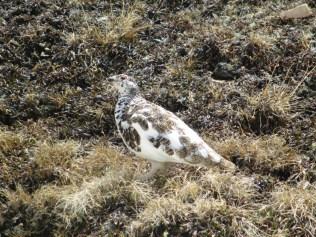 Less-camouflaged ptarmigan