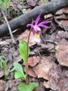 Fairyslipper or Calypso Orchid. Very exciting to see this one.