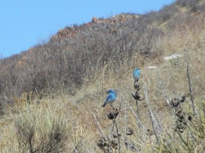 Blue Birds at Blue Sky, 3/8/15
