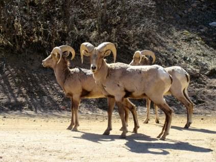 Sheep on road ahead!
