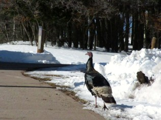 One of the many complete turkeys running around at APO.
