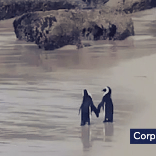 Video: Loving penguins
