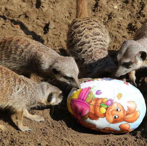 Photo Story : Animals in Hanover Zoo get Easter treats