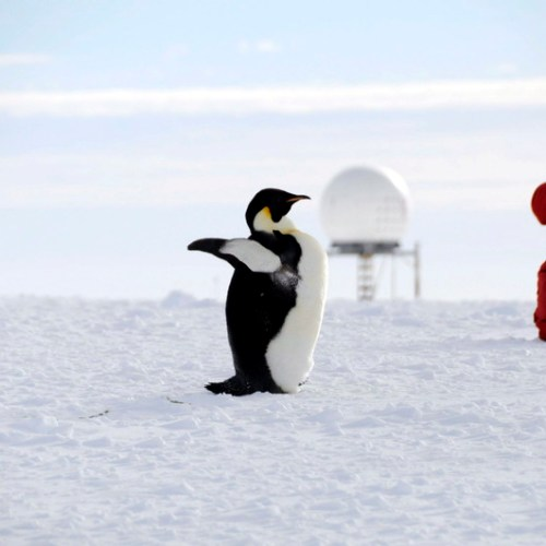 Half of Antarctica's emperor penguins could be wiped out due to melting ice