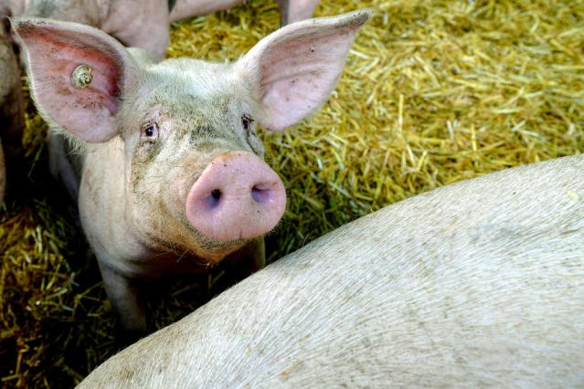 African Swine Fever is 2020's next threat