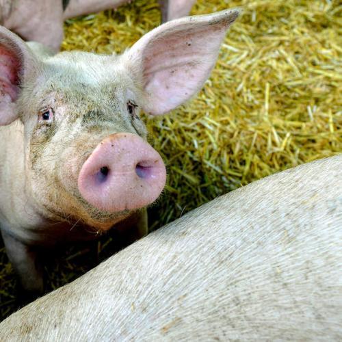 FAO warns disease slashing global meat output, bananas under watch