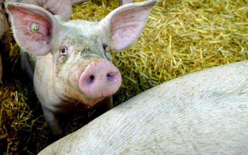 African Swine Fever is 2020's next threat