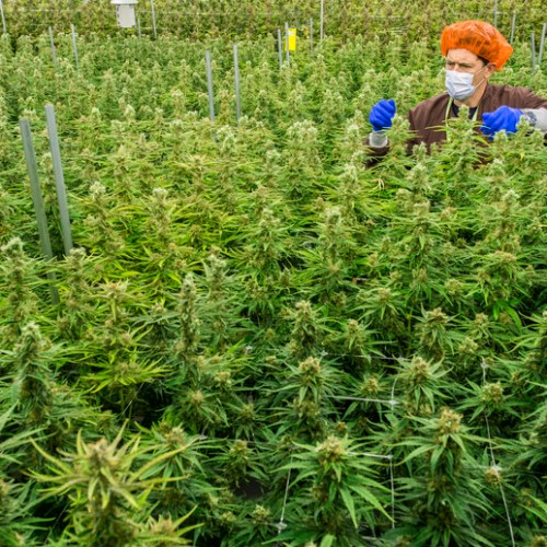 Major Canadian cannabis companies facing proposed class-action lawsuits in the U.S.