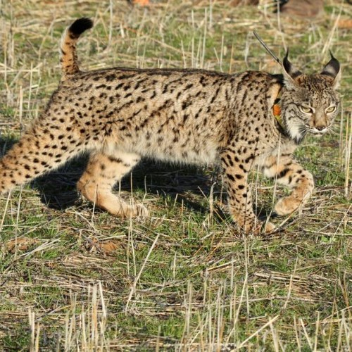 Back from the brink: Iberian lynx population rises to over 1,000