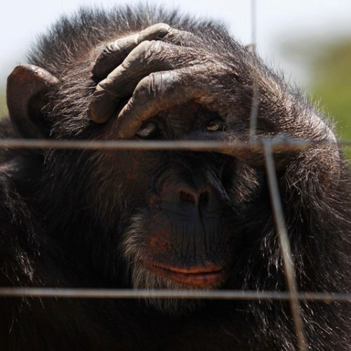 Great apes put on lockdown against coronavirus threat