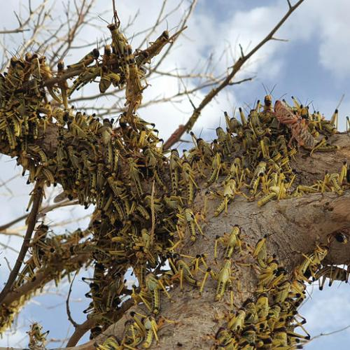 Photo Story: Pakistan facing devastating locust swarms