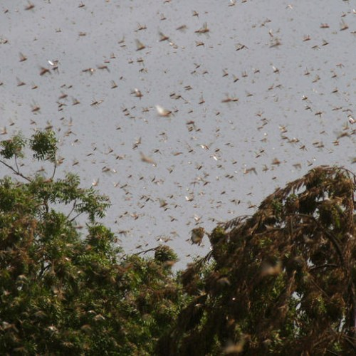 Locusts continue to ravage East Africa