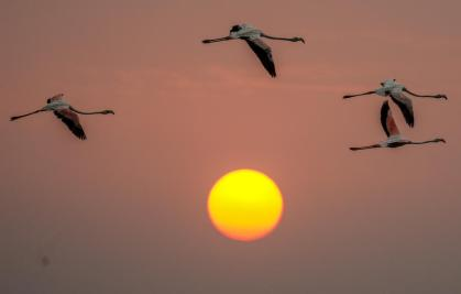 epa08428650 Flamingos fly past during sunset in Navi Mumbai, India 17 May 2020. Migratory birds arrive in the winter season from different parts of India and neighboring countries and are usually leaving the region again in the spring months. EPA-EFE/DIVYAKANT SOLANKI