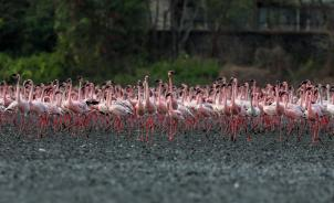 epa08428670 Colonies of flamingos crowd the muddy area in Navi Mumbai, India 17 May 2020. Migratory birds arrive in the winter season from different parts of India and neighboring countries and are usually leaving the region again in the spring months. EPA-EFE/DIVYAKANT SOLANKI