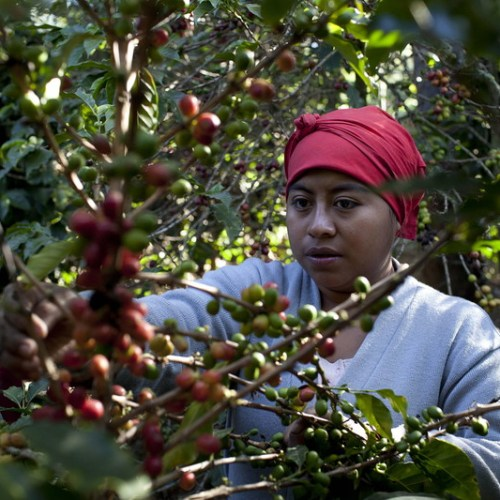 Cocaine: falling coffee prices force Peru's farmers to cultivate coca