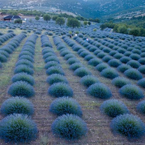 Photo story: Lavender fields in Turkey