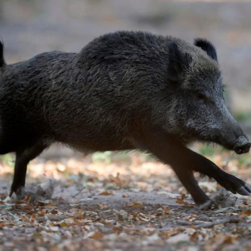 Germany confirms another African swine fever case in wild boar