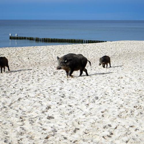 Photo Story: Boars on a beach