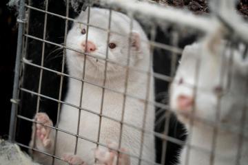 Finland begins vaccinating mink