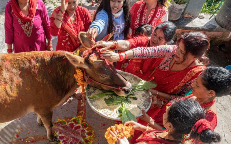 Photo Story: Cow Worship Day in Nepal