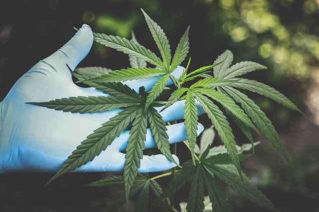Uzbekistan allows Maltese firm to grow medical cannabis