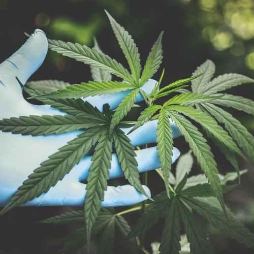 Uzbekistan allows Maltese firm to grow medical cannabis