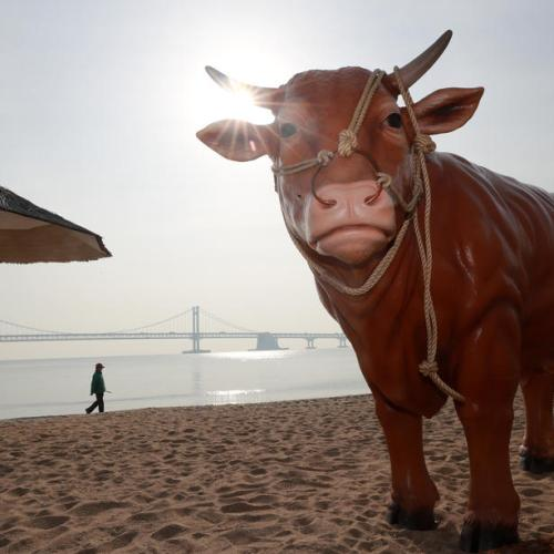 Photo Story: Asia prepares for the Year of the Ox